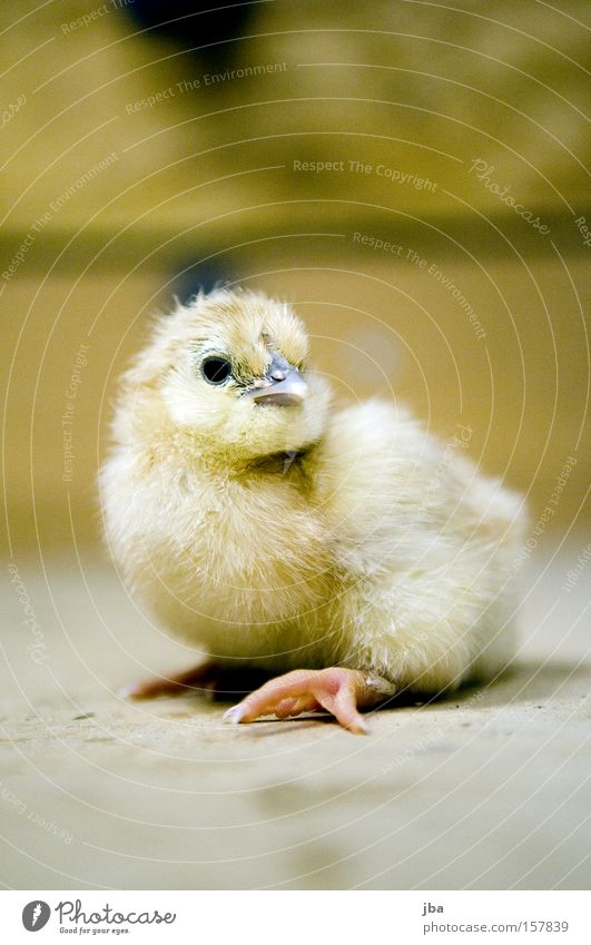 Chick 2 Barn fowl Fresh Birth Looking Curiosity Pelt Feather Eyes Beak Animal Slip Bird born Infancy