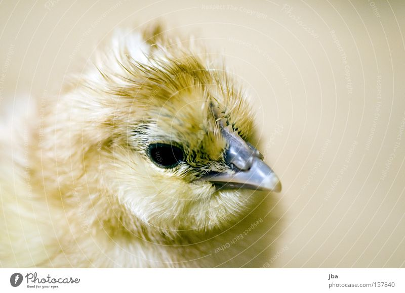 Joy Eyes Bird Infancy Fresh New Feather Pelt Depth of field Beak Birth Barn fowl Chick Animal