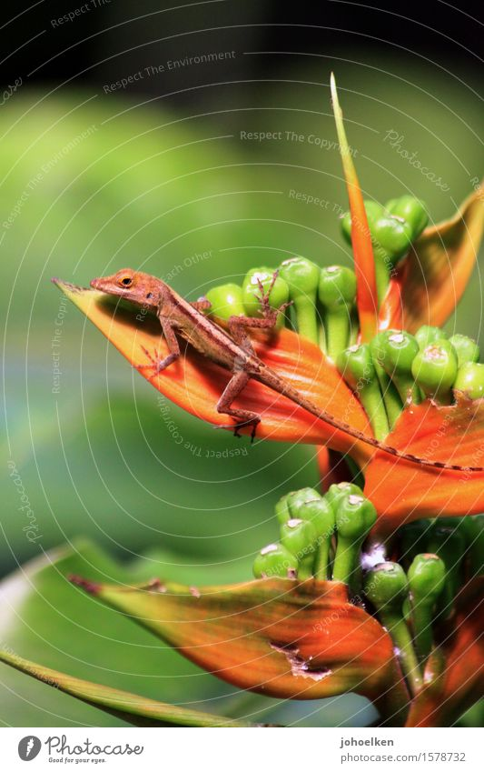 flower glue Plant Blossom Exotic helicons Heliconia Virgin forest Animal Wild animal Scales Anolis Saurians Baby animal Reptiles 1 Brown Green Orange Colour