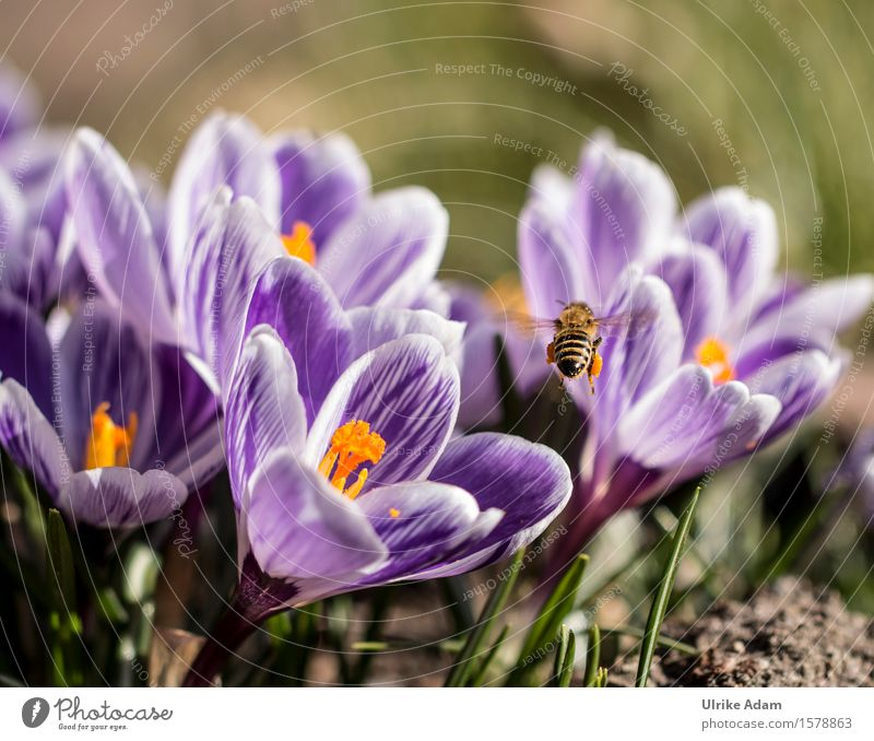 Bee in spring at Krokussfeld Nature Plant Animal Spring Flower Blossom Crocus Spring flowering plant Garden Park Wild animal Insect 1 Blossoming Flying Natural