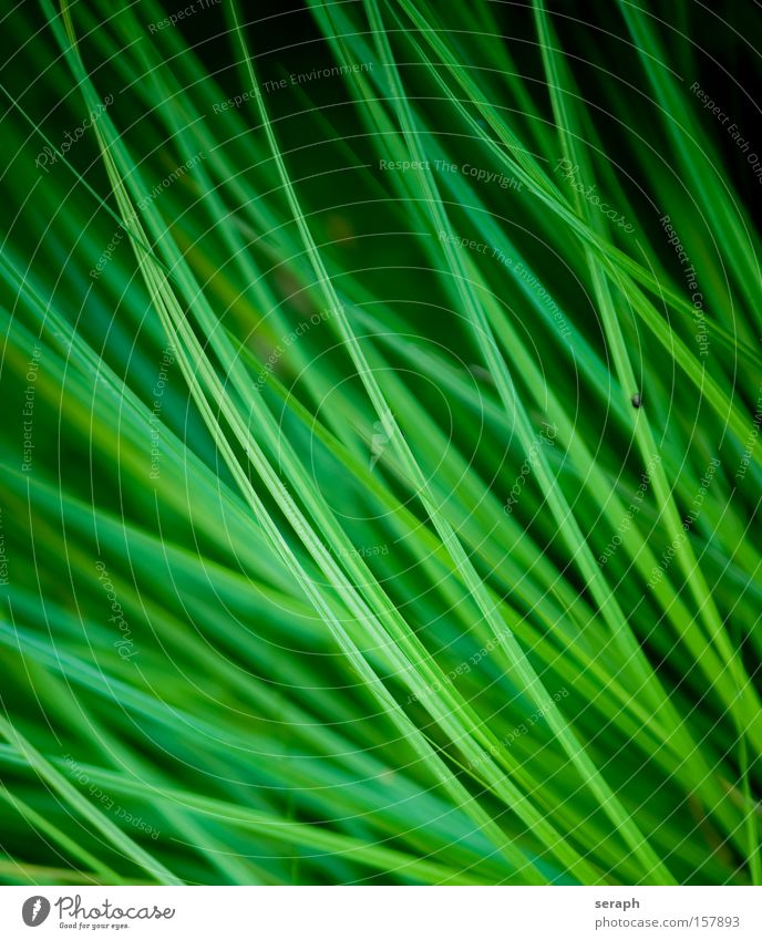 Grass Green Plant Meadow Environment Fresh Growth Lawn Common Reed Blade of grass Botany Aquatic plant Verdant Reeds