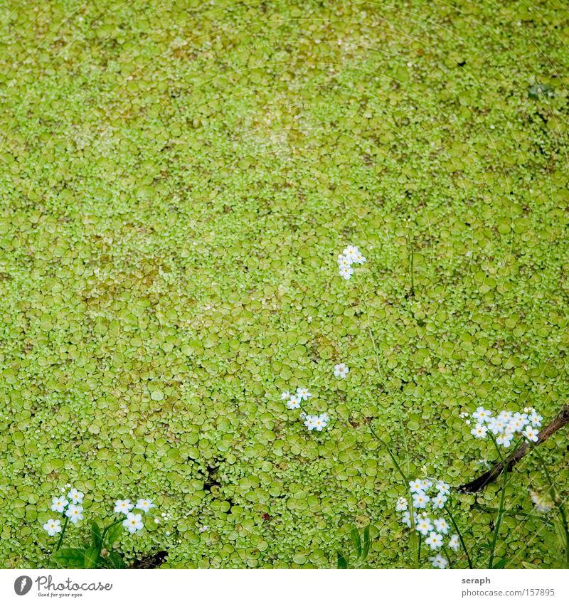 Flower Plant Blossom Grass Lake Fresh Swimming pool Blossoming Pond Fine Body of water Marsh Habitat Flax Water lentil