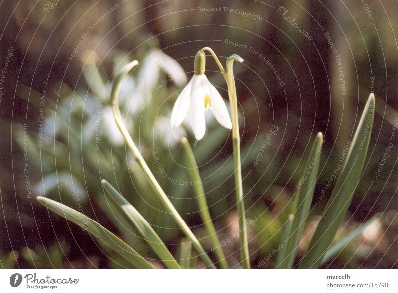 snowdrops Flower Snowdrop Feeling