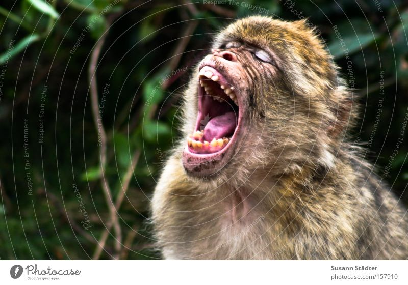 Monkey after the visit to the dentist... Monkeys Set of teeth White Dentist Drill Fear Tongue Scream Oral cavity Hair Mammal monkey forest