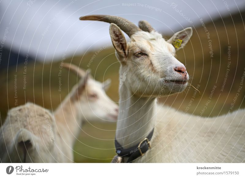 Just play it cool boy, real cool Nature Landscape Plant Grass Hill Alps Mountain Animal Farm animal Goats 2 Group of animals Pair of animals Cool (slang) Blue