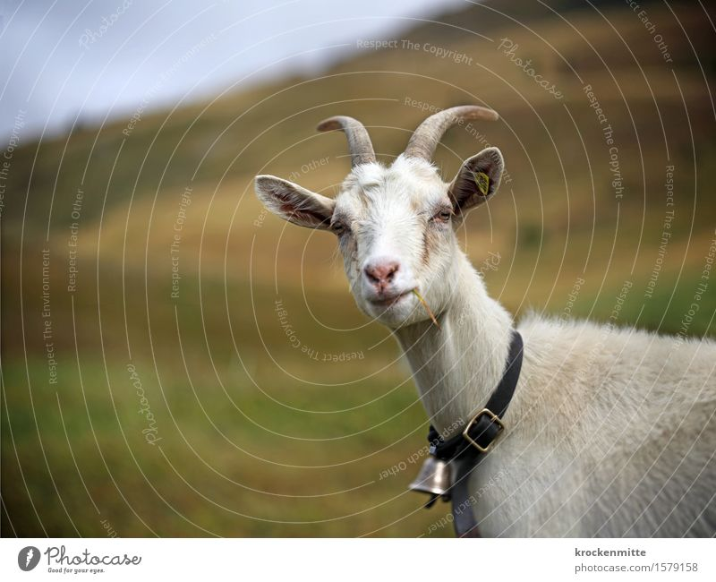 Here's Looking at You, Kid! Nature Landscape Sky Autumn Plant Grass Hill Alps Mountain Animal Farm animal Animal face Goats Goatskin 1 To enjoy Authentic Blue