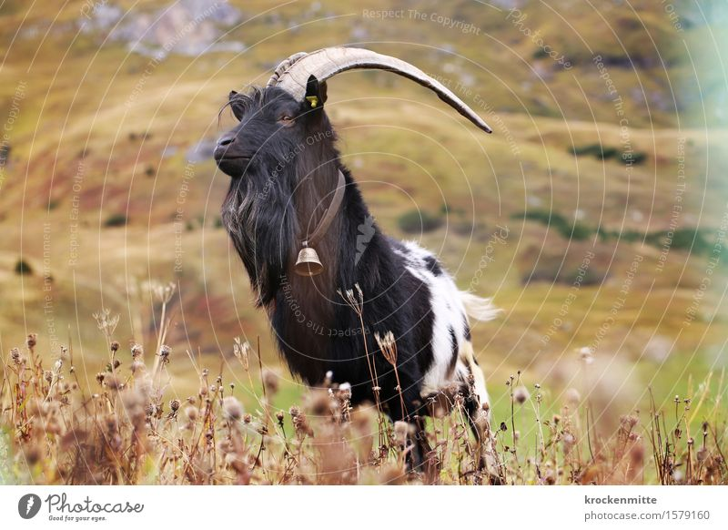 stubborn Environment Nature Landscape Plant Animal Autumn Grass Bushes Foliage plant Hill Alps Mountain Farm animal He-goat 1 Green Black White Pride Antlers