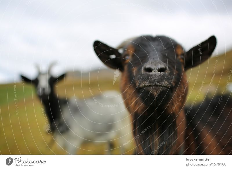sniffling Environment Nature Landscape Earth Plant Grass Hill Alps Mountain Animal Farm animal Goats 2 Group of animals Herd Pair of animals Curiosity Cute Blue