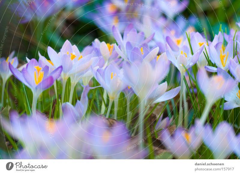 Beautiful Flower Green Blue Blossom Spring Garden Violet Crocus