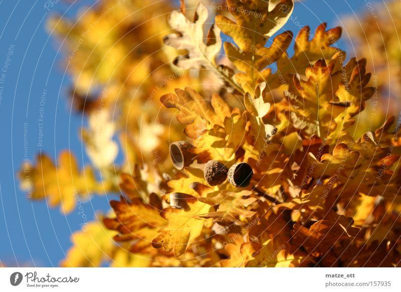 Golden Autumn Leaf Seasons Acorn Sun Sky Tree Warmth Yellow Brown leaf fall