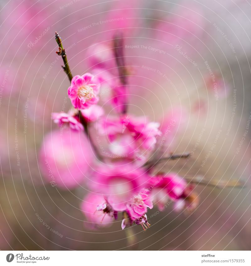 Nature Plant Tree Blossom Spring Pink Esthetic Bushes Blossoming Cherry blossom Magenta