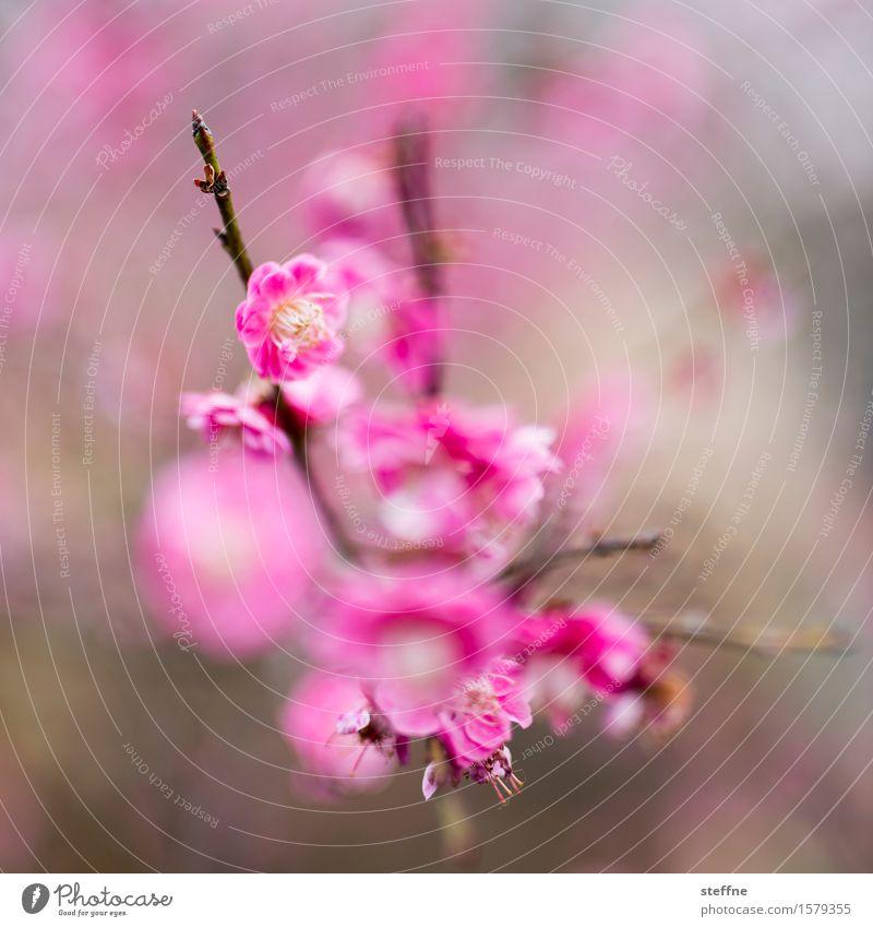 Nature Plant Tree Blossom Spring Pink Esthetic Bushes Blossoming Cherry blossom Magenta