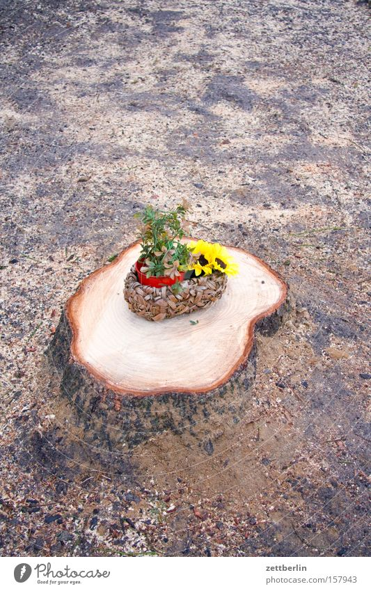 compensation Tree Dull Tree stump Woodcutter Forestry Agriculture Flower Sunflower Flowerpot Basket Placeholder Jewellery Decoration Transience Obscure sawdust