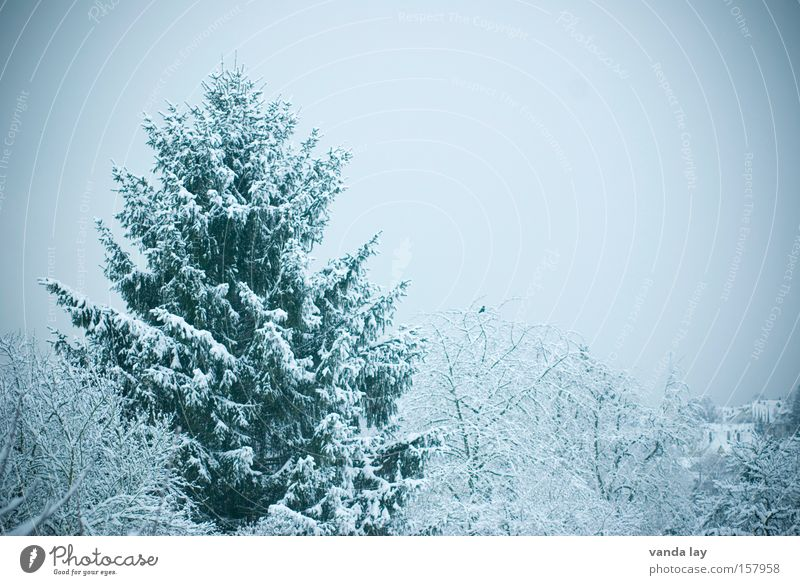 Winter Fir tree Tree Cold Snow Cyan Green undertone Landscape December January November Seasons Forest snowy