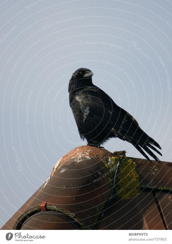 Black Bird Roof Brick Roofing tile Raven birds Crow Roof ridge