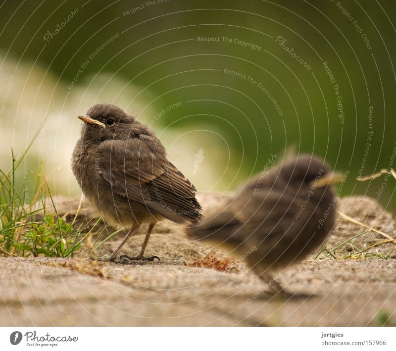 Togetherness Bird Chick Redstart Agreed Matrimony Marriage crisis Divorce Stress Happy Exterior shot Colour photo 2 Animal portrait