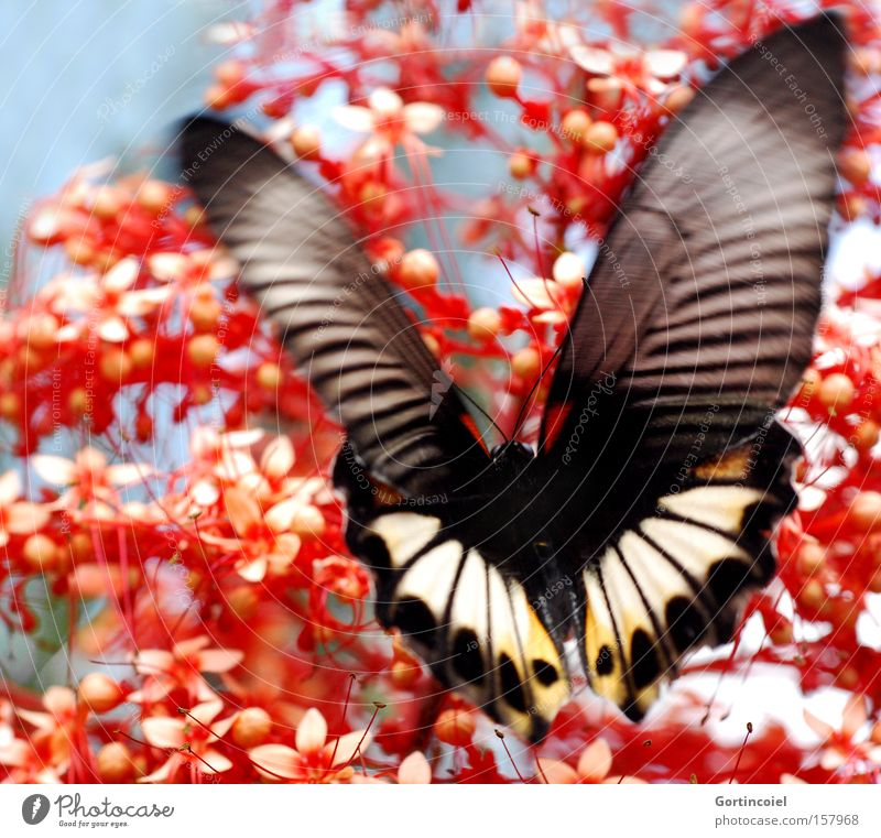 Bali Butterfly Exotic Summer Nature Plant Animal Spring Flower Blossom Wing Flying Exceptional Beautiful Red Happy Spring fever Insect Noble Asia Papilio memnon