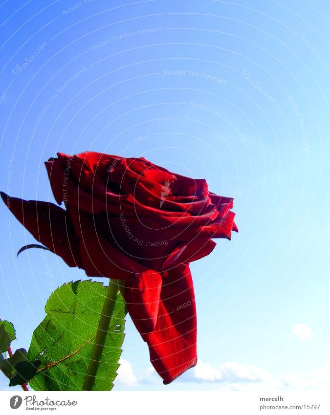 beautiful flower Rose Red Flower Leaf Plant Sky Blue Graffiti