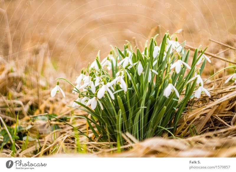 snowdrops Nature Plant Spring Flower Grass Leaf Blossom Wild plant Snowdrop Spring flowering plant Straw Meadow Forest Esthetic Fresh Dry Brown Green White