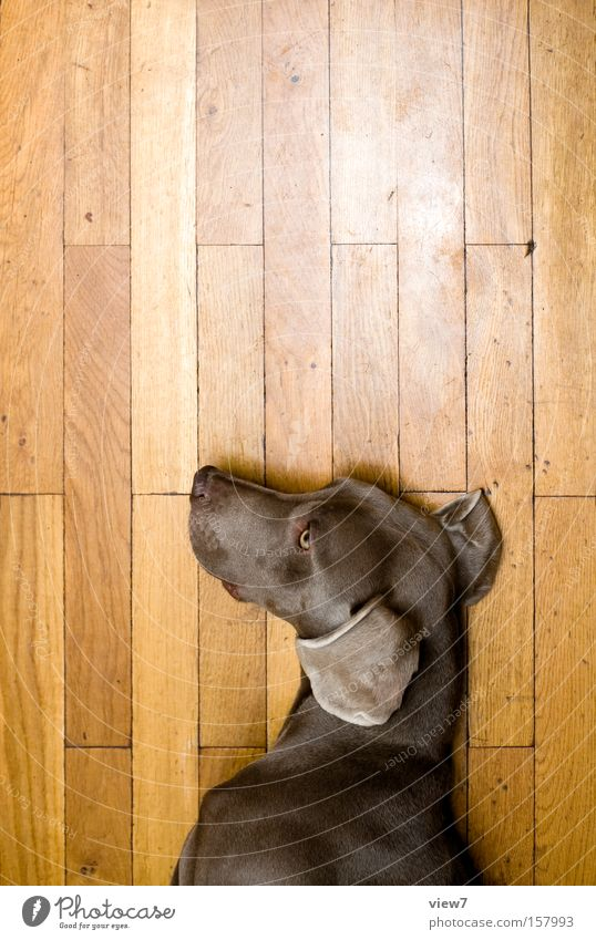 dog doll Dog Doll Lie Doze Sleep Playing Gesture Facial expression Weimaraner Parquet floor Wood Ear Pelt Detail Mammal Boredom puff