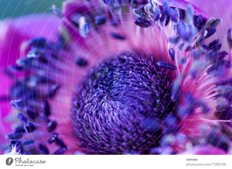 Macrograph of violet anemone nucleus Anemone Violet Flower Stamen Blossom Poppy anenome Crowfoot plants Garden Pink Fine Delicate Exterior shot Close-up Detail