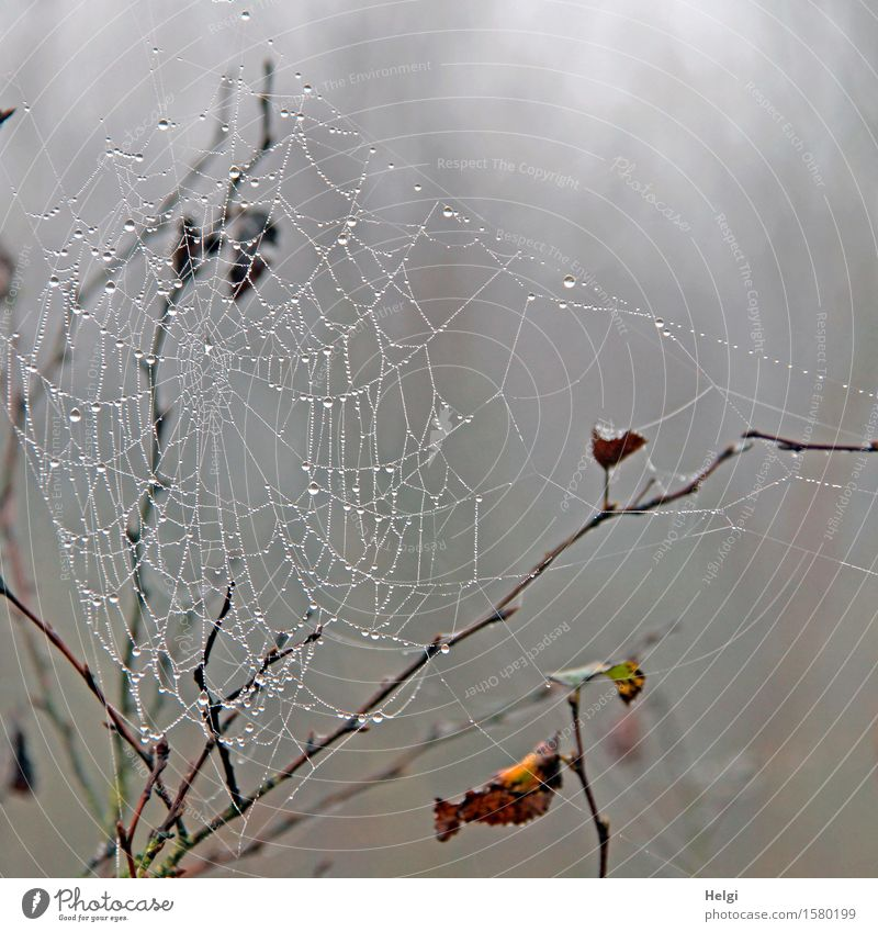 Spun web in the moor Environment Nature Plant Drops of water Autumn Fog Bushes Leaf Twig Bog Marsh Spider's web Hang Dark Uniqueness Cold Wet Natural Brown Gray