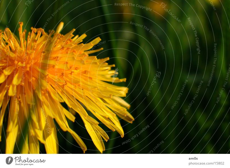 dandelion Dandelion Flower Depth of field Macro (Extreme close-up) grass Illuminate