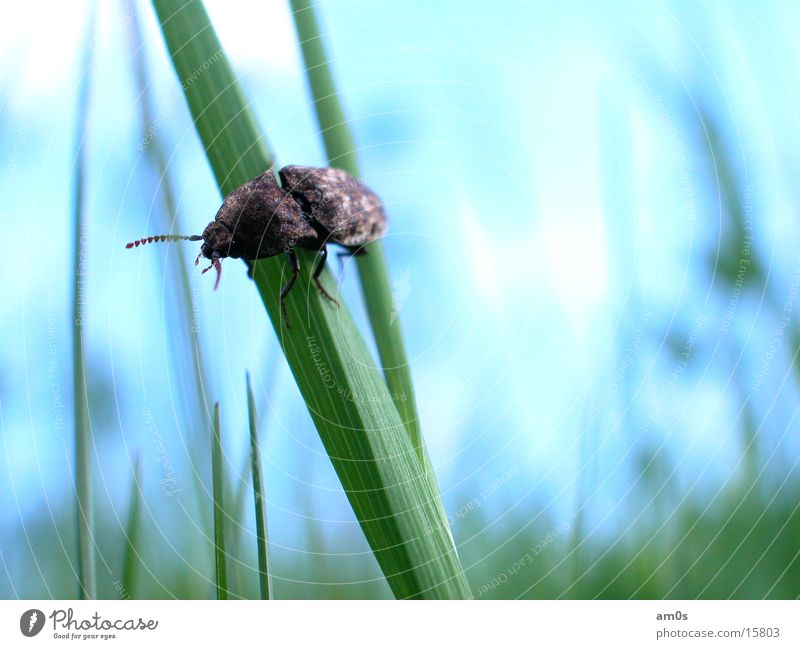 Sky Blue Blade of grass Beetle Bow