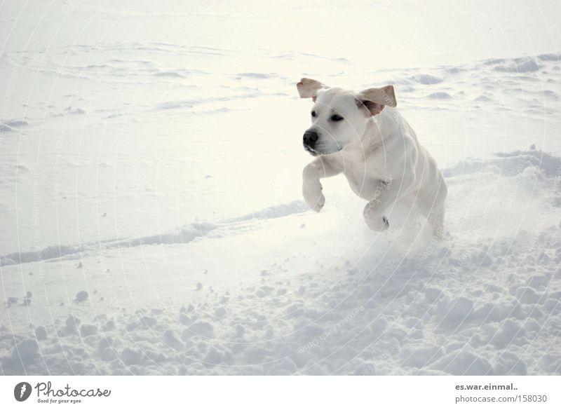Dog Winter Joy Animal Snow Playing Happy Jump Healthy Baby animal Power Wind Walking Running Ear Athletic