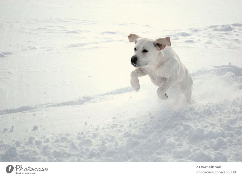 white on white. Happy Playing Winter Snow Ear Wind Dog Baby animal Running Walking Jump Athletic Healthy Power Love of animals Joy Elapse Hop Walk the dog