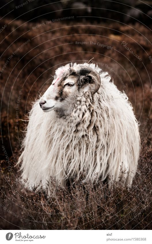 Nature Beautiful White Landscape Calm Animal Natural Exceptional Brown Hiking Esthetic Trip Uniqueness Romance Watchfulness Sheep
