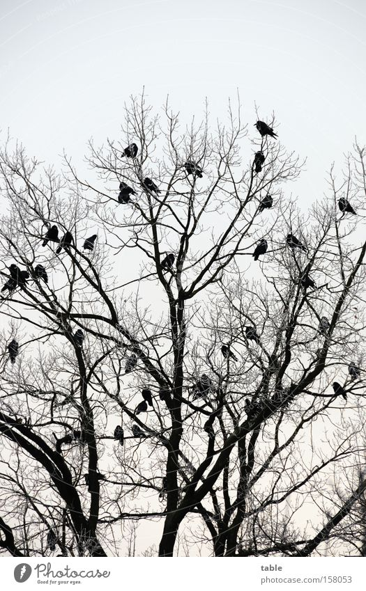 waiting Tree Branch Twig Bird Runway Raven birds Crow Songbirds Mythology Sit Sky Winter Cold Hugin munine