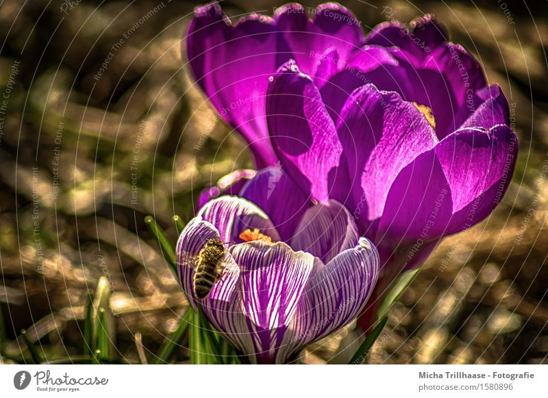 Bee & Flower Environment Nature Plant Animal Sun Sunlight Spring Summer Beautiful weather Leaf Blossom crocus Meadow Wild animal 1 Blossoming Fragrance Flying