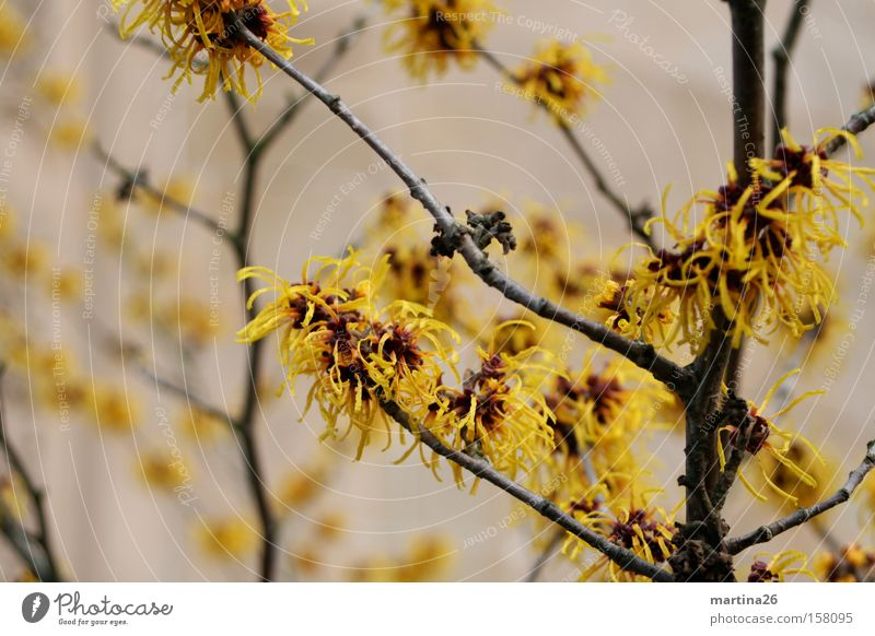 winter bloom Yellow Blossom Tuft Branch Twig Bushes Winter Spring Blossoming Plant Calm Wake up Hamamelis japonica Spring flowering plant witch hazel