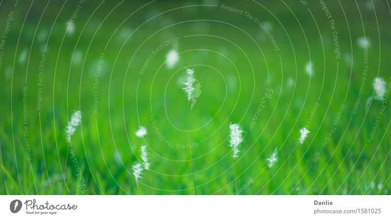 White Grass Flowers Glowing in Green Field Life Nature Wind Wild Soft 2:1 background field glowing in-focus Lawn out-of-focus reed shiny Subdued colour Deserted