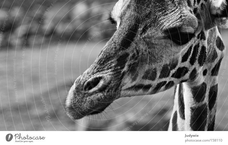 Portrait of a Giraffe Black & white photo Zoo Animal Wild animal Large Long Curiosity White Africa Neck Mammal Zebra Savannah Wilderness potrait