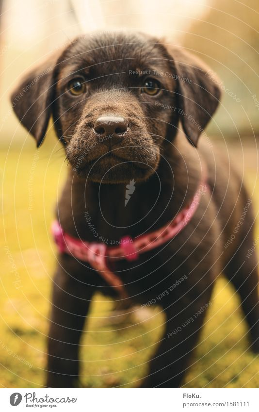 Curious Lotta Animal Pet Dog Animal face 1 Baby animal Brash Beautiful Small Feminine Brown Labrador Curiosity Puppy Adventurer Infancy Snout Colour photo