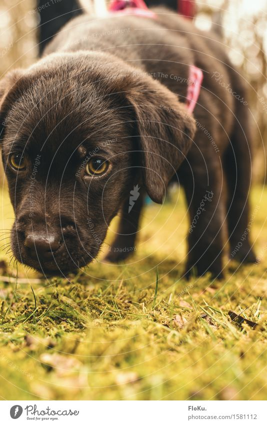 SNIFFLE SNIFFLE Earth Grass Moss Garden Park Meadow Animal Pet Dog 1 Baby animal Small Curiosity Cute Brown Moody Labrador Spy Odor Search Lop ears Snout Eyes