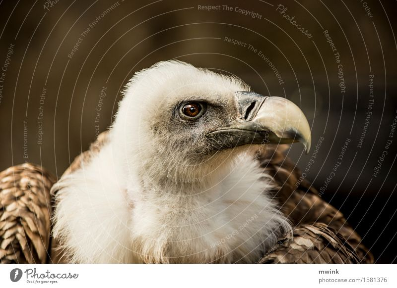 Portrait griffon vulture Animal Wild animal Bird Animal face Zoo 1 Observe Think To feed Hunting Looking Dream Wait Aggression Esthetic Athletic Authentic