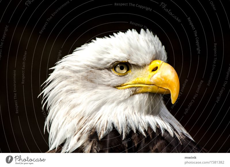 bald sea eagle Wild animal Bird Zoo 1 Animal Looking Aggression Esthetic Exceptional Cool (slang) Contentment Bravery Success Beautiful Patient Adventure Power