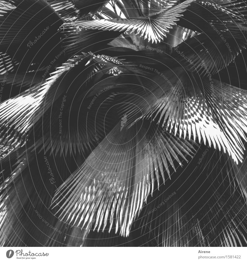 fan collection Plant Tree Leaf Exotic Palm tree Palm frond ray palm fan palm Colour Guide Gray Plumed Radial Black & white photo Exterior shot Pattern
