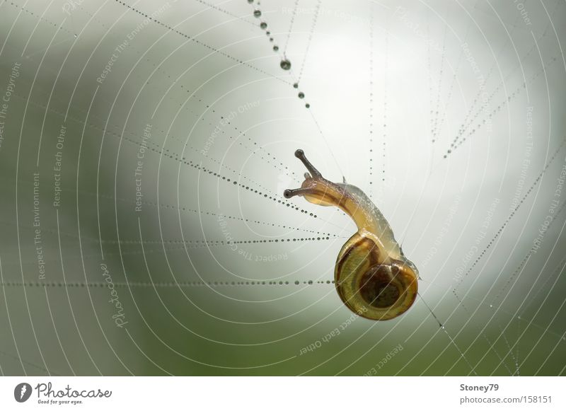 Nature Green Animal Loneliness Yellow Wet Drops of water Dangerous Threat Net Snail Captured 1 Feeble Spider's web Delicate