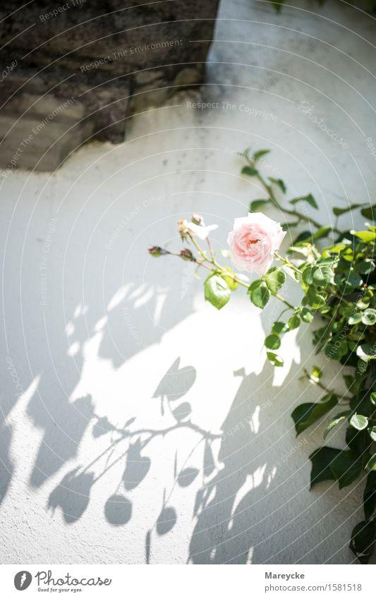 Rose on the wall Nature Plant Blossom Joie de vivre (Vitality) Dog rose Charterhouse Ittingen rose care Rose Club Rose garden Rose Shrub bouquet of roses