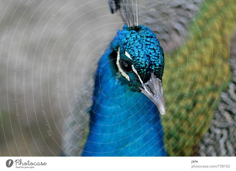 Beautiful Blue Eyes Animal Head Park Bird Esthetic Feather Beak Pride Peacock