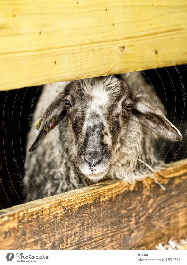 Framed sheep's head Food Meat Nutrition Vacation & Travel Trip Summer Agriculture Forestry Environment Nature Spring Barn Fence Brunette White-haired Animal