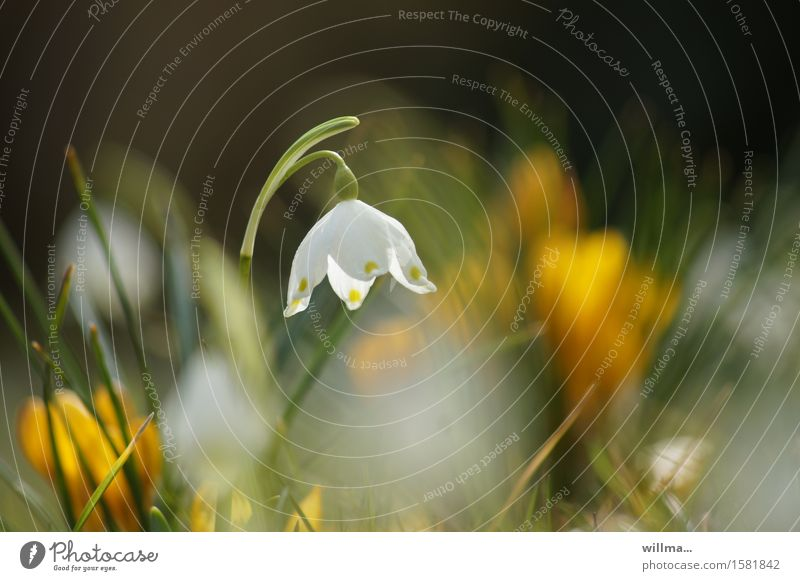 The snowflake heralds the arrival of spring Spring snowflake Spring flowering plant Blossoming naturally Nature Delicate Spring day White Yellow Green