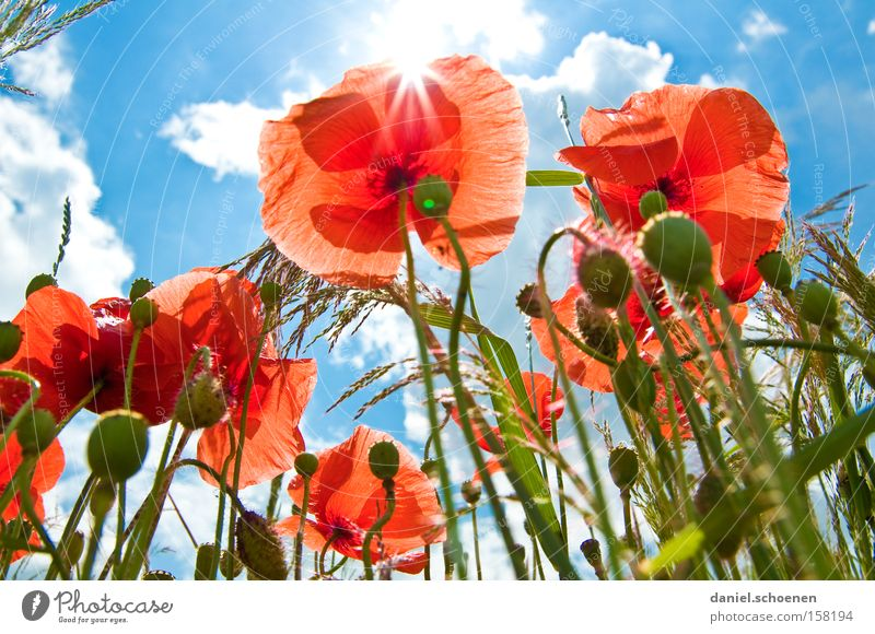be out in the sun again Summer Meadow Poppy Corn poppy Sun Sunbeam Sky Red Blue Blossom Perspective Celestial bodies and the universe