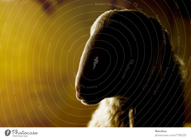 honey sheep Easter Sheep Warmth Barn Agriculture Pelt Wool Animal Farm animal Calm Yellow Light Mammal honey-coloured