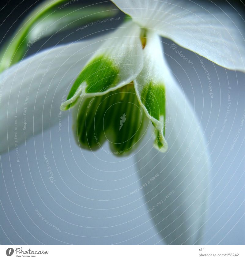 Flower Snow Blossom Spring Park Heart Decoration Delicate Seasons Wake up Snowdrop Macro (Extreme close-up)