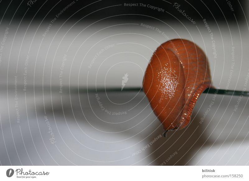 Red Animal Brown Corner Touch Edge Snail Risk Feeler Crawl Slowly Hybrid Slimy Slug